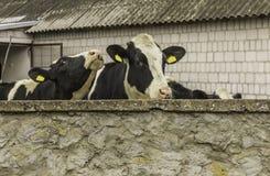 Δύο αγελάδες, με τις κίτρινες ετικέττες προσδιορισμού στα αυτιά τους, ποια στάση πίσω από έναν τοίχο πετρών Στοκ Εικόνες