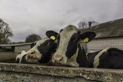 Δύο αγελάδες, με τις κίτρινες ετικέττες προσδιορισμού στα αυτιά τους, ποια στάση πίσω από έναν τοίχο πετρών Στοκ φωτογραφίες με δικαίωμα ελεύθερης χρήσης