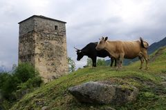 Δύο αγελάδες σε μια βουνοπλαγιά, ενάντια στο σκηνικό του πύργου Svan στοκ εικόνα