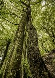 Δύο αγκαλίασαν τα δέντρα στο δάσος που τυλίχτηκε το ένα γύρω από το άλλο Στοκ εικόνες με δικαίωμα ελεύθερης χρήσης