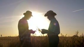 Δύο αγρότες που εργάζονται στον τομέα με τις συγκομιδές ελέγχουν Ripeness του σιταριού απόθεμα βίντεο