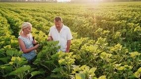 Δύο αγρότες που περπατούν κατά μήκος του πράσινου τομέα ενός ηλίανθου, επικοινωνούν Σε χρήση εργασίας μια ταμπλέτα steadicam πυρο απόθεμα βίντεο