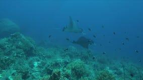 Δύο ακτίνες Manta σε μια κοραλλιογενή ύφαλο απόθεμα βίντεο