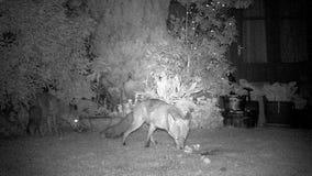 Δύο αλεπούδες που ταΐζουν στον αστικό κήπο σπιτιών απόθεμα βίντεο