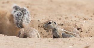 Δύο αλεσμένοι σκίουροι που ψάχνουν τα τρόφιμα στα ξηρά artis άμμου της Καλαχάρης Στοκ εικόνες με δικαίωμα ελεύθερης χρήσης