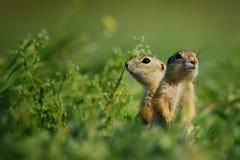 Δύο αλεσμένος σκίουρος που στέκεται μέση-βαθιά στη χλόη σε ένα όμορφο υπόβαθρο Στοκ Εικόνες