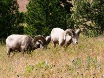 Δύο αμερικανικά πρόβατα κατά τη βοσκή bighorn σε ένα λιβάδι στοκ φωτογραφία με δικαίωμα ελεύθερης χρήσης