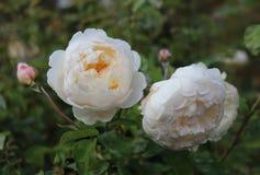 Δύο ανθίζοντας αγγλικά τριαντάφυλλα του είδους Glamis Castle στοκ εικόνες