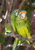 Δύο αντιμετωπισμένο πορτοκάλι Parakeets Στοκ Εικόνα
