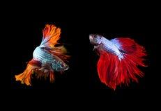 Δύο από τα όμορφα ψάρια πάλης betta χρώματος που προετοιμάζονται να παλεψει επάνω Στοκ Εικόνες