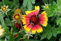 Δύο από Bumblebee Στοκ Φωτογραφίες