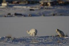 Δύο αρκτικές αλεπούδες που παίζουν και που κυνηγούν κοντά σε ένα κρησφύγετο την άνοιξη στοκ εικόνα με δικαίωμα ελεύθερης χρήσης