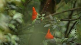Δύο αρσενικά του των Άνδεων peruvianus Rupicola κόκκορας--ο-βράχου που και που στον κλάδο και που περιμένει τα θηλυκά, Ισημερινός απόθεμα βίντεο