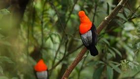 Δύο αρσενικά του των Άνδεων peruvianus Rupicola κόκκορας--ο-βράχου που και που στον κλάδο και που περιμένει τα θηλυκά απόθεμα βίντεο