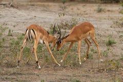 Δύο αρσενικά impalas, που παλεύουν πέρα από το έδαφος στο Serengeti, Τανζανία Στοκ Εικόνες