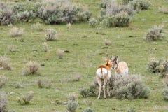 Δύο αρσενική άγρια Pronghorn Anetelope μύτη--μύτη Στοκ φωτογραφία με δικαίωμα ελεύθερης χρήσης
