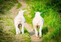 Δύο αρσενικοί φίλοι προβάτων που περπατούν μαζί με τους όρχεις ορατούς στοκ φωτογραφίες
