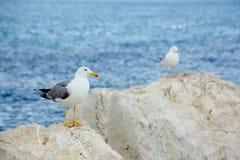 Δύο ασημόγλαροι περιμένουν στους βράχους θαλασσίως στοκ εικόνες