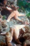Δύο αστέρων ψάρια στο Oosterschelde Στοκ Εικόνες