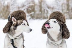 Δύο αστεία γεροδεμένα σκυλιά είναι στα θερμά καπέλα με τα χτυπήματα αυτιών στοκ φωτογραφία με δικαίωμα ελεύθερης χρήσης