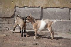 Δύο αστεία νέα goatlings Στοκ φωτογραφία με δικαίωμα ελεύθερης χρήσης