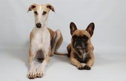 Δύο αστεία σκυλιά μαζί στο στούντιο στοκ εικόνες