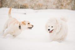 Δύο αστεία σκυλιά - σκυλί και Samoyed του Λαμπραντόρ που παίζουν και που τρέχουν υπαίθριοι στο χιόνι, χειμερινή εποχή Στοκ Εικόνες