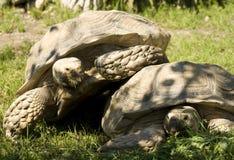 Δύο αστείες χελώνες Στοκ εικόνα με δικαίωμα ελεύθερης χρήσης