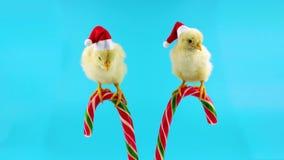 Δύο αστείοι μικροί κόκκορες, αρωγοί Santa, που κάθονται στον κάλαμο καραμελών Χριστουγέννων φιλμ μικρού μήκους
