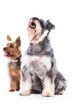 Δύο λατρευτά υπάκουα σκυλιά Στοκ εικόνα με δικαίωμα ελεύθερης χρήσης