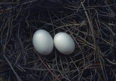Δύο αυγά πουλιών στην εκκόλαψη της φωλιάς Στοκ φωτογραφία με δικαίωμα ελεύθερης χρήσης