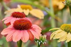 Δύο αυξήθηκαν χρωματισμένα άνθη των λουλουδιών στον κήπο με τη μαλακή εστίαση υποβάθρου Στοκ Φωτογραφία