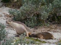 Δύο αυστραλιανά λιοντάρια θάλασσας Στοκ φωτογραφία με δικαίωμα ελεύθερης χρήσης