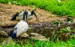 Δύο αφρικανικές ιερές θρεσκιόρνιθες μαζί δευτερεύον, τροπικό wading specie πουλιών νερού από την Αφρική στοκ εικόνα
