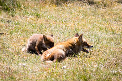 Δύο αλεπούδες που παίζουν στη χλόη Στοκ εικόνες με δικαίωμα ελεύθερης χρήσης