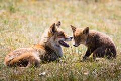 Δύο αλεπούδες που παίζουν στη χλόη Στοκ εικόνα με δικαίωμα ελεύθερης χρήσης
