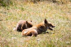 Δύο αλεπούδες που παίζουν στη χλόη Στοκ φωτογραφίες με δικαίωμα ελεύθερης χρήσης