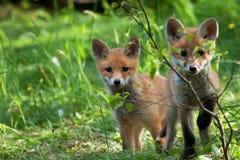 Δύο αλεπούδες σε ένα καθάρισμα Στοκ φωτογραφία με δικαίωμα ελεύθερης χρήσης