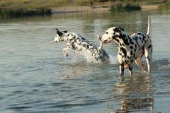 Δύο δαλματικά σκυλιά σε μια λίμνη στοκ φωτογραφίες