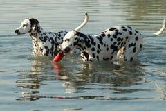 Δύο δαλματικά σκυλιά στο νερό με το παιχνίδι στοκ φωτογραφίες με δικαίωμα ελεύθερης χρήσης