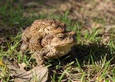 Δύο βάτραχοι - ευρωπαϊκός φρύνος (ζεύγος) στοκ φωτογραφίες με δικαίωμα ελεύθερης χρήσης