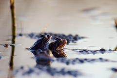 Δύο βάτραχοι ζευγαρώνουν Πλάγια όψη Στοκ Φωτογραφίες
