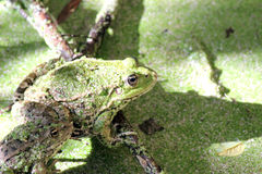 Δύο βάτραχοι σε έναν κλάδο που κρύβεται στη φύση Στοκ Εικόνα