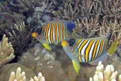 Δύο βασιλοπρεπές Angelfish Στοκ εικόνα με δικαίωμα ελεύθερης χρήσης