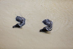 Δύο βούβαλοι που κολυμπούν στο λασπώδη ποταμό, το Μιανμάρ Στοκ Φωτογραφία