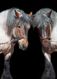 Δύο Βραβάνδη άλογο που απομονώνεται στο Μαύρο Στοκ Εικόνα