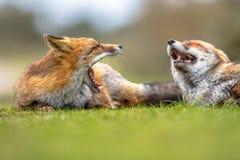 Δύο βρυμένος ευρωπαϊκές κόκκινες αλεπούδες Στοκ φωτογραφίες με δικαίωμα ελεύθερης χρήσης
