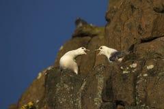Δύο βόρεια fulmars που σε μια προεξοχή Σκωτία απότομων βράχων Στοκ Φωτογραφίες