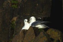 Δύο βόρεια fulmars που σε μια συνεδρίαση της Σκωτίας προεξοχών απότομων βράχων Στοκ εικόνες με δικαίωμα ελεύθερης χρήσης