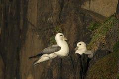 Δύο βόρεια fulmars που σε μια συνεδρίαση της Σκωτίας προεξοχών απότομων βράχων Στοκ Εικόνα